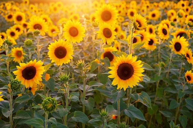L'énergie de l'été à travers la flamboyance des tournesols Photo de Pixabay - Bruno
